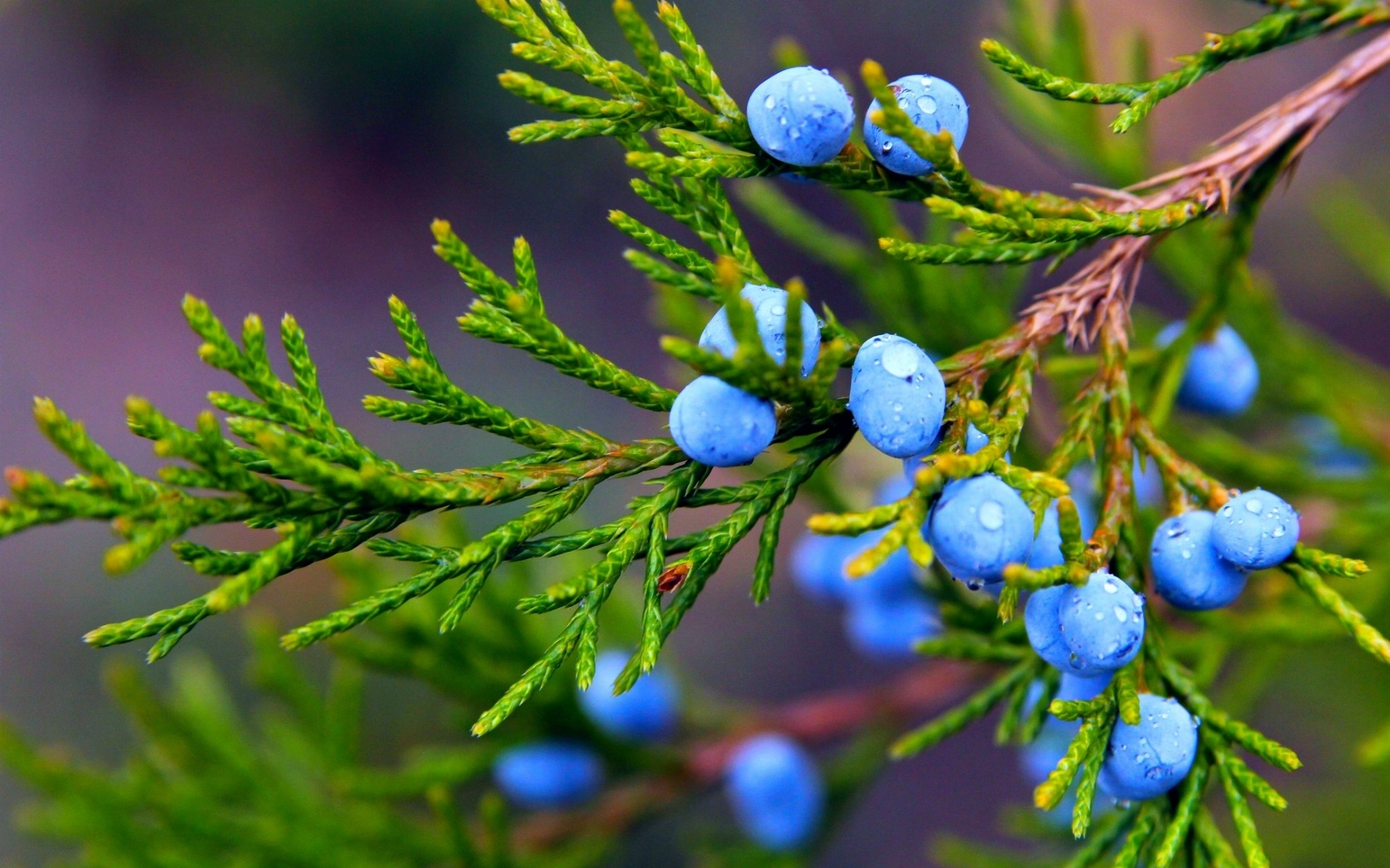juniper-fruits-wallpaper-for-1920x1200-widescreen-11-44