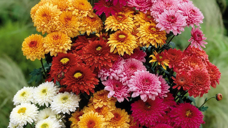 Imagini pentru crizanteme