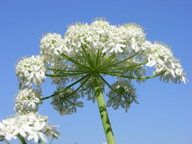 heracleum-sphondylium-
