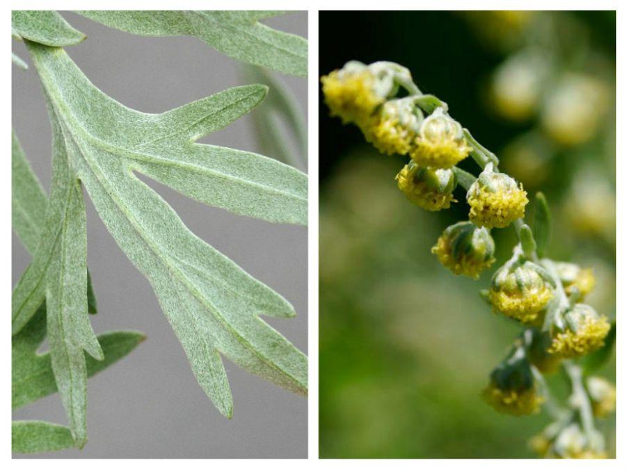 pelin (Artemisia absinthium).