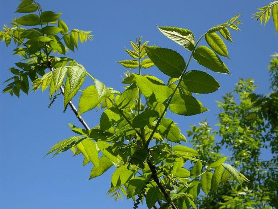 frunze de slăbire dieta s limon